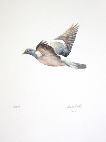 Woodpigeon on the wing - by Will Garfit