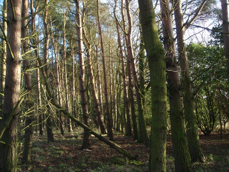 The long belt of conifer wood
