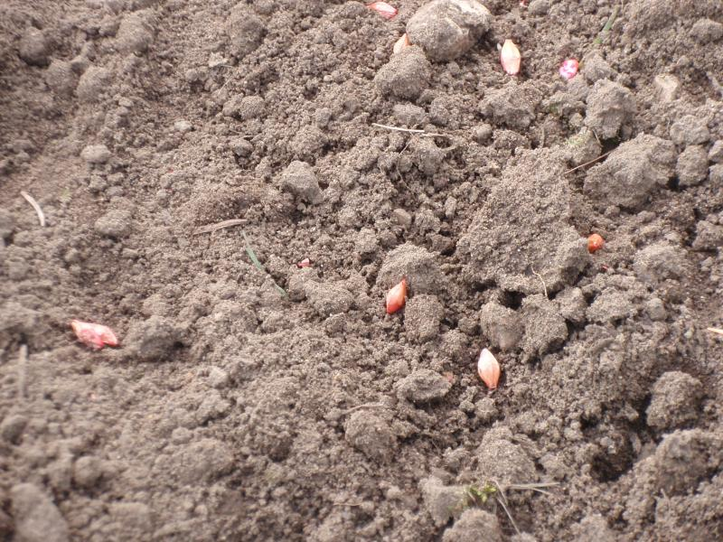 Barley seed left laying on the surface